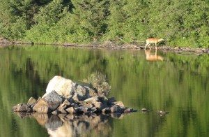 Deer by the shore of Cedar Lake, Algonquin Park